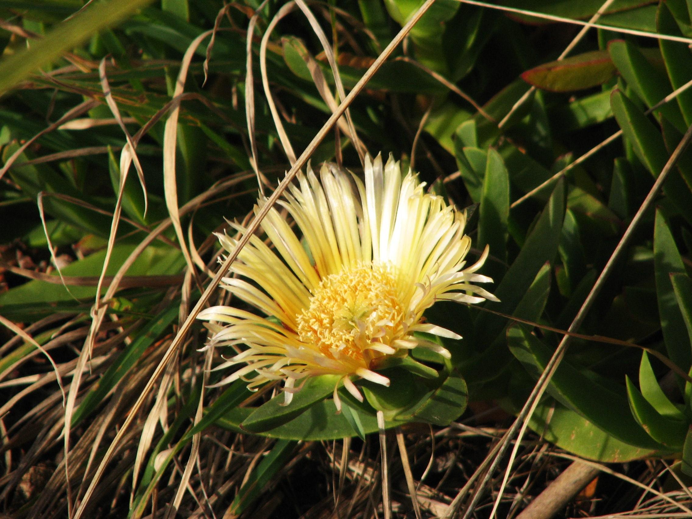 inletyellow ice daisy close-up
