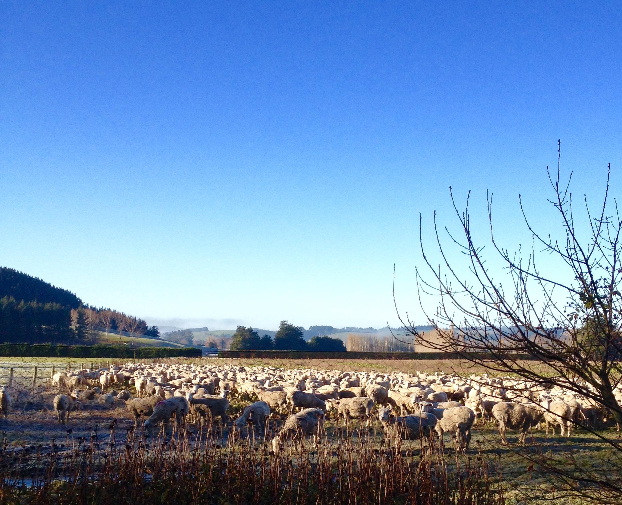 mob of sheep
