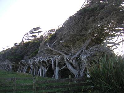 orepuki_trees