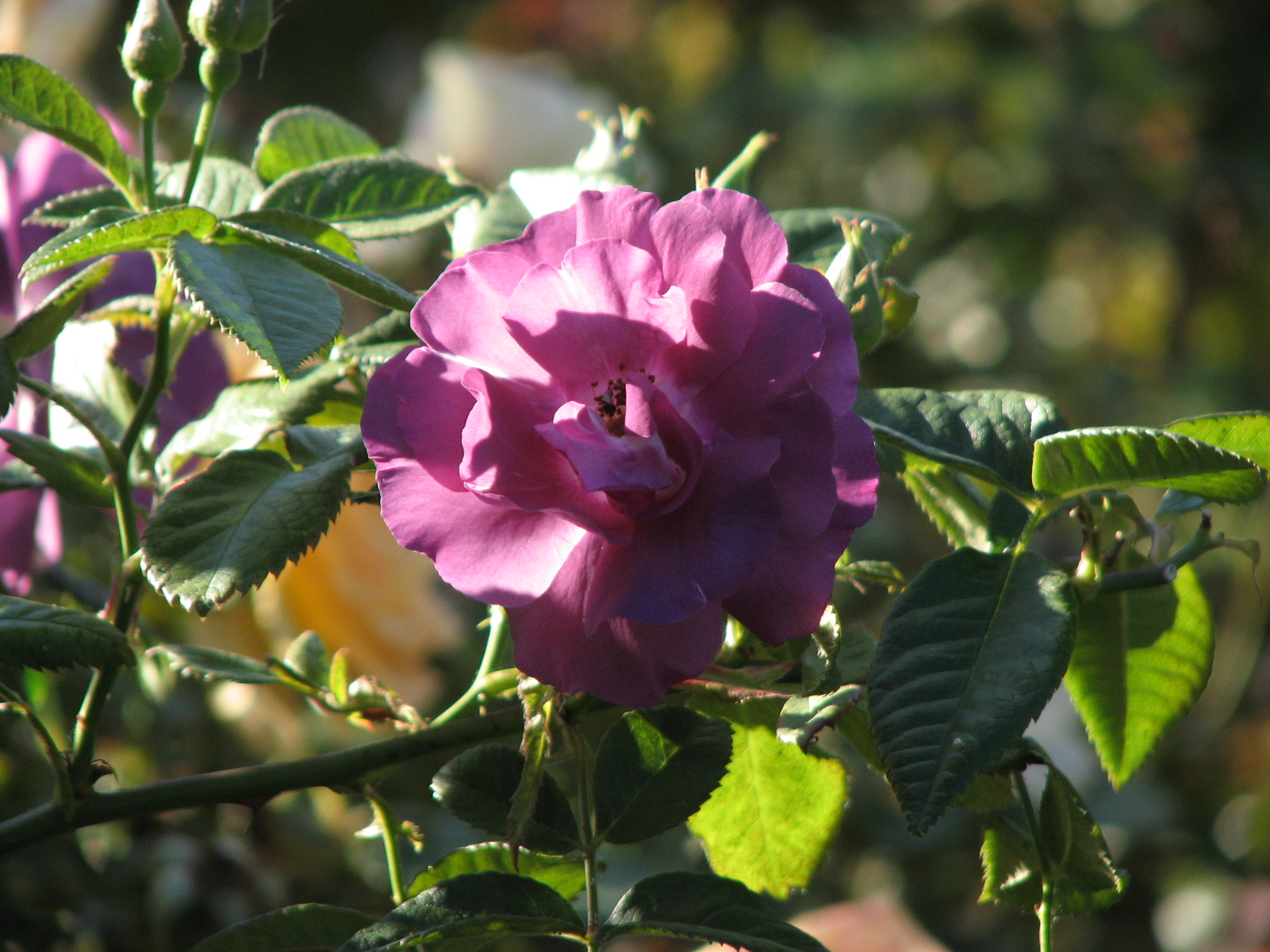 purple rose 1