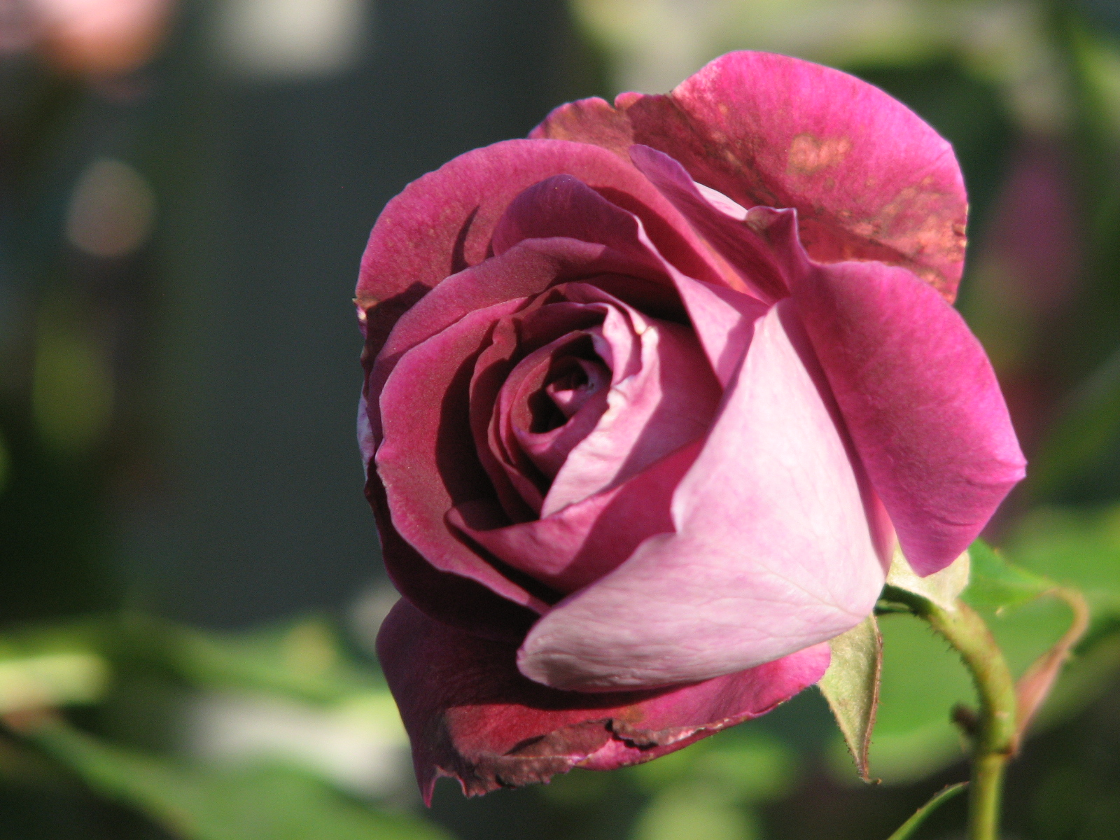 purple rose 3