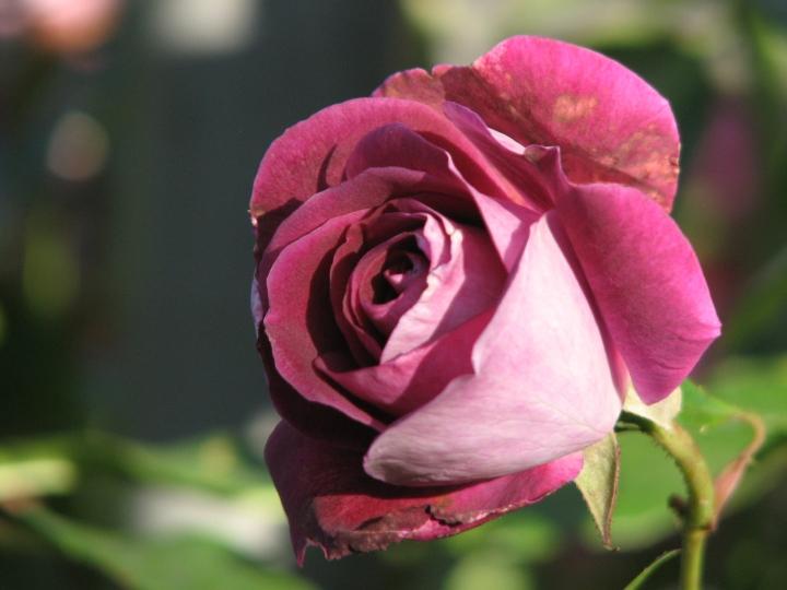 purple rose 3