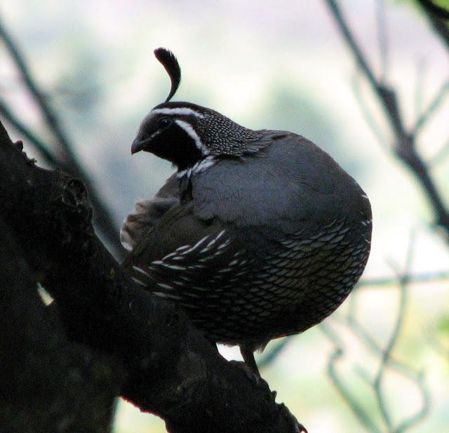 quail in tree 2