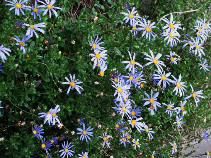 easter daisies.JPG