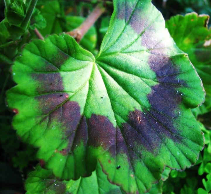 geranium leaf.JPG
