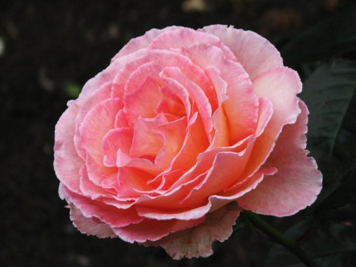 peac-pink-rose