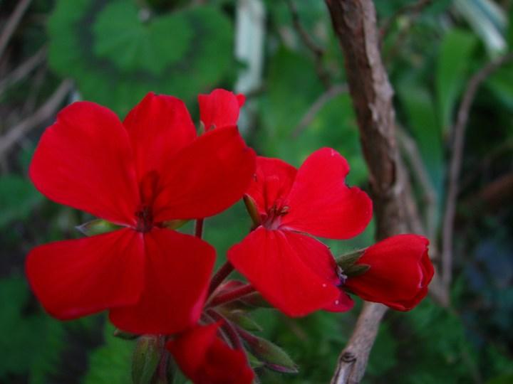 red geranium.JPG