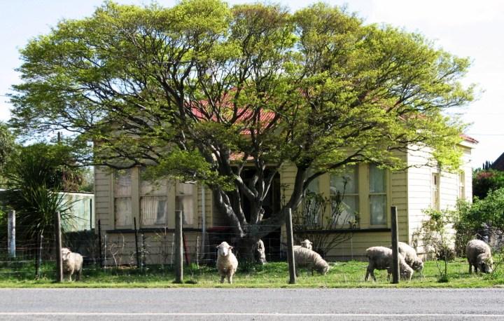 wyndham sheep