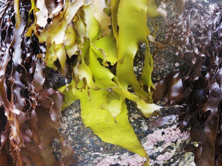 seaweed 2.JPG