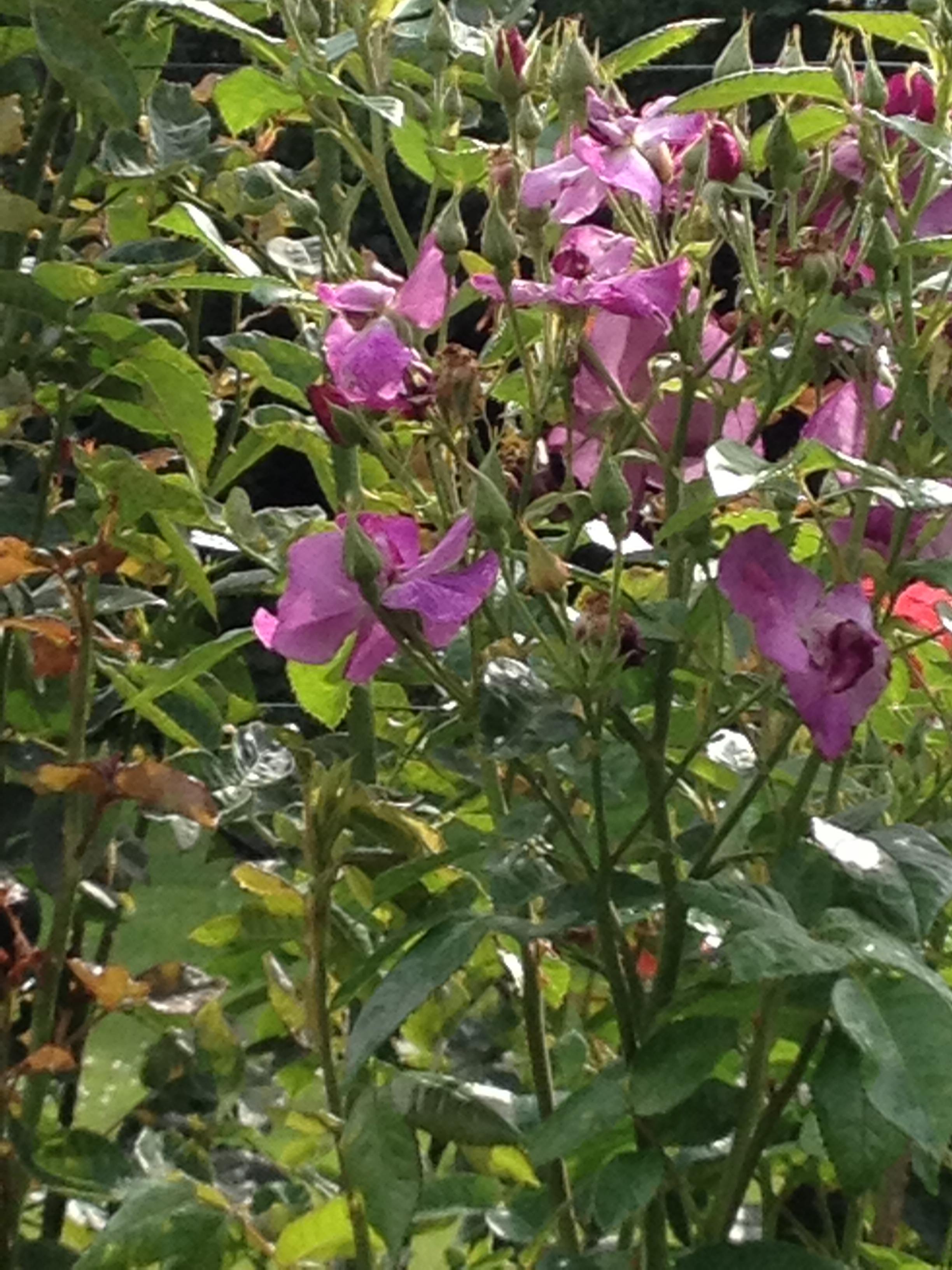 more Gore roses.JPG