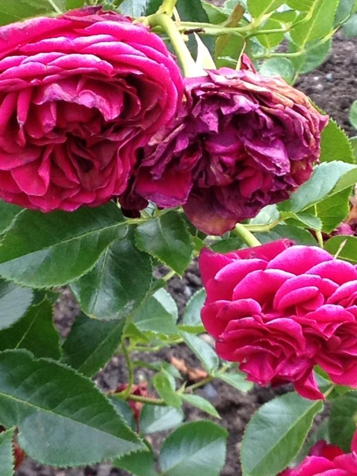 roses Gore
