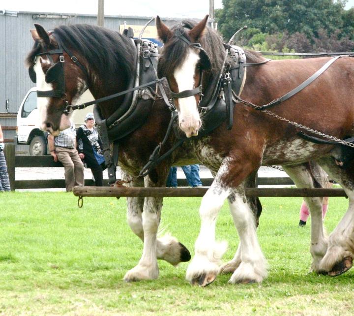 draught horse team.JPG