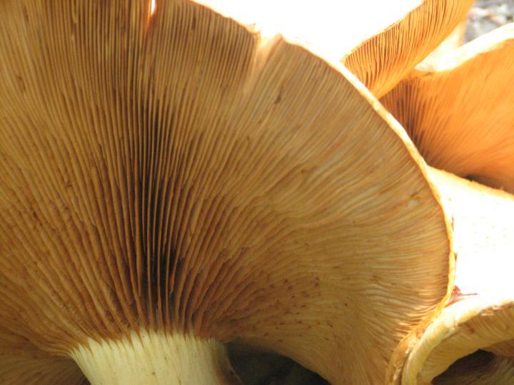 fungi gills 1