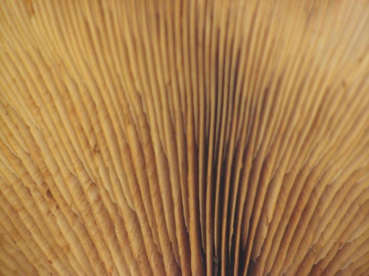 fungi gills 2