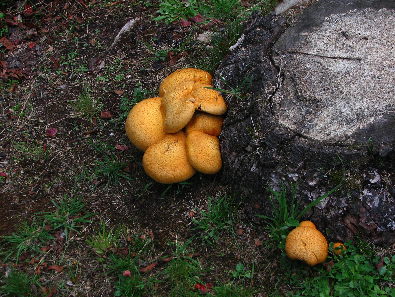Puffballs larger in perspc..JPG