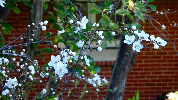 Blossom against brick