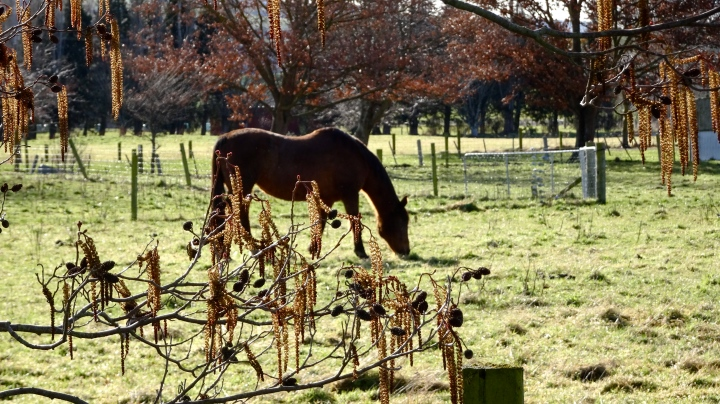 horse and catkins.JPG