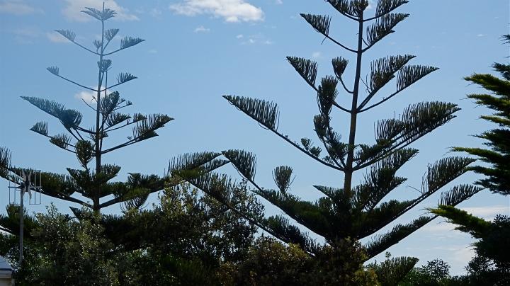 norfolk pines.JPG