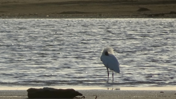 ruffled bird.JPG