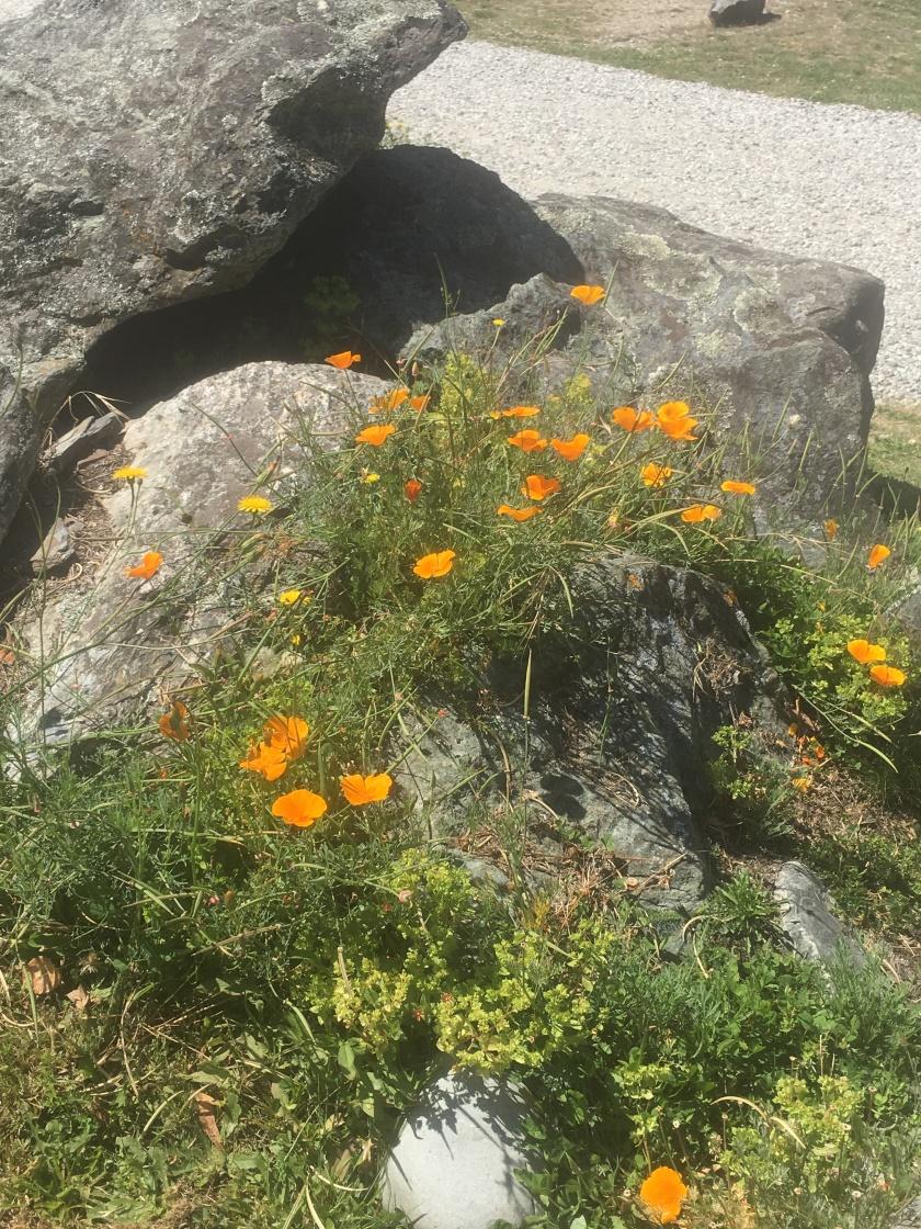cemetery poppies