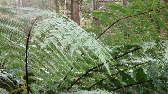 tree ferns.JPG