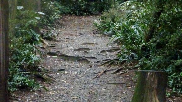 tree root path.JPG