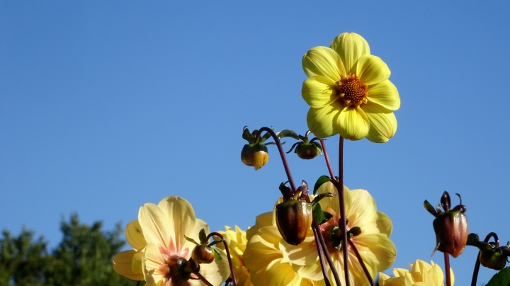 dahlias against the sky
