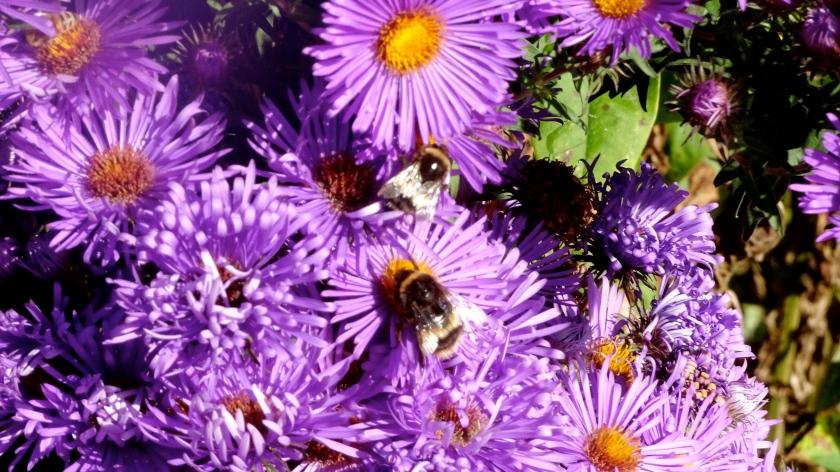 Purple flowers and three bees.JPG