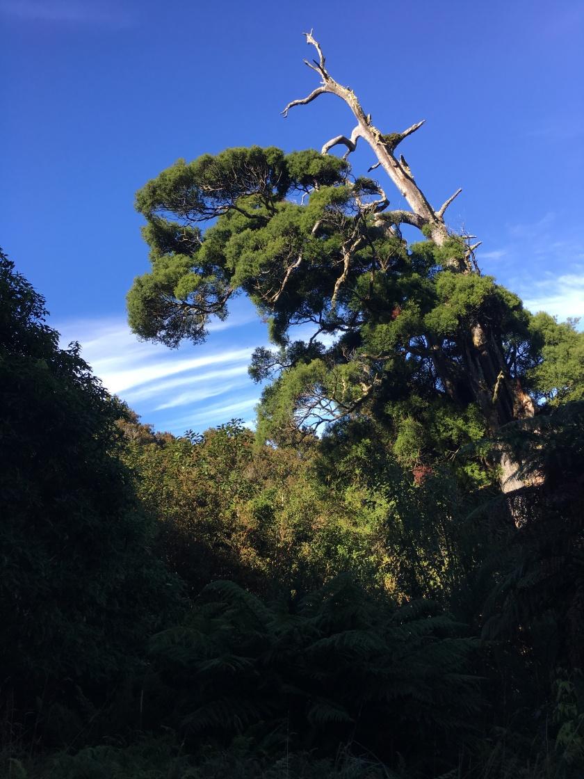 McKenzie tree