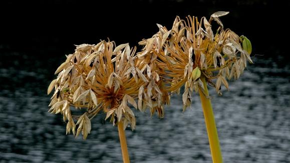 closeup 2 agapanthus seedhead