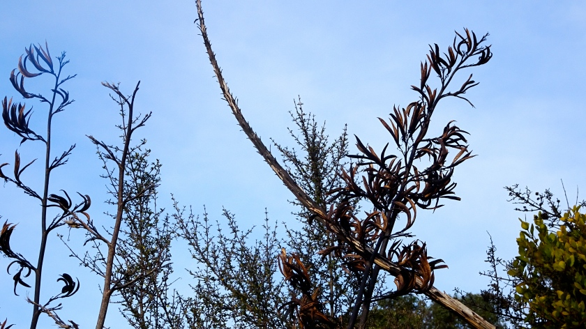 flax pods against sky.JPG