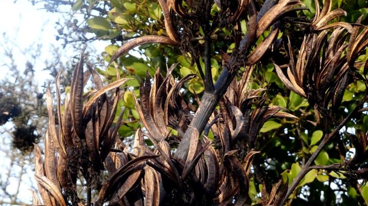 flax pods up clode.JPG