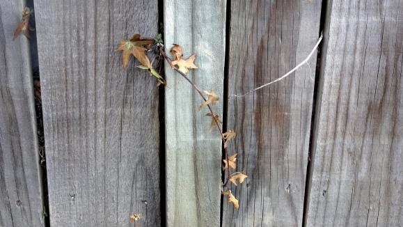 Ivy on wood