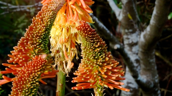red pokers up close.JPG