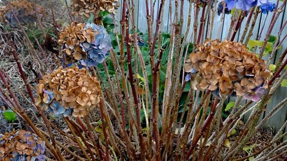 three winter hydrangea
