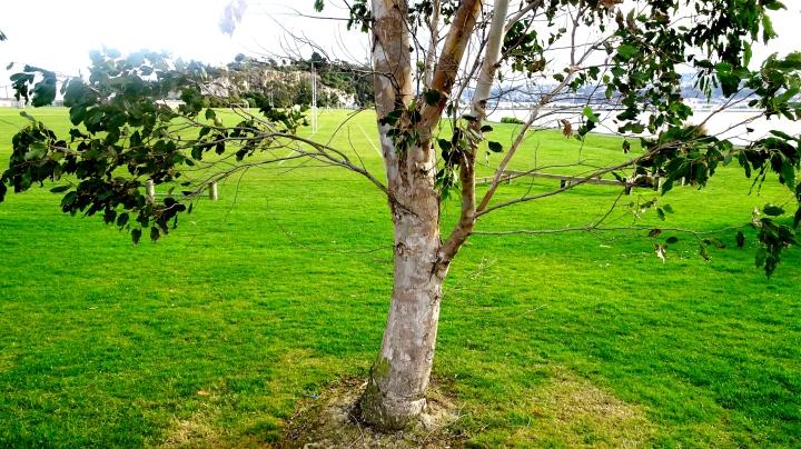 tree on sports ground.JPG