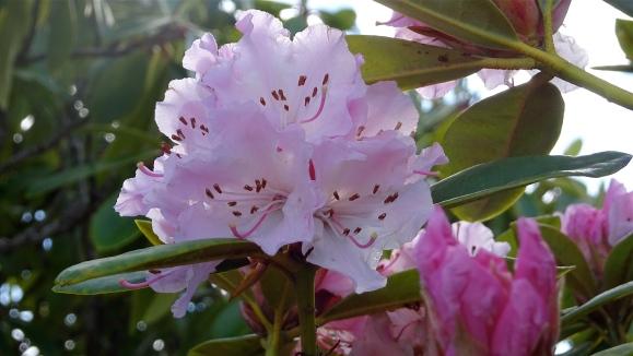 pink rhodo close up.JPG