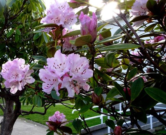 pink rhodo.JPG