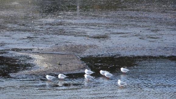 seagulls red-bills.JPG
